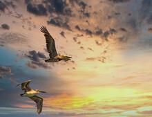 Brown Pelicans In Flight Again...