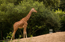 A Beautiful Giraffe Climbs A Slope, Looking For Food In The Green Trees. The Long Neck Helps It Reach The Highest Leaves.