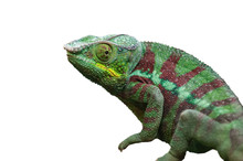 Chameleon Lizard Isolated On W...