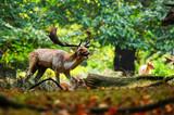 Fototapeta Zwierzęta - Daniel zwyczajny na bykowisku