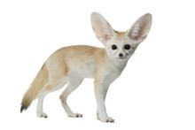 Fennec Fox On A White Background In Studio