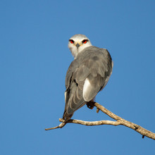 Black-winged Kite Perched In T...