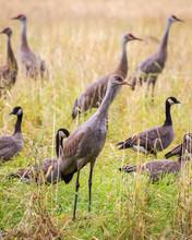 Sandhill Crane At Migration Time