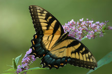 Eastern Tiger Swallowtail (Pap...