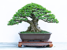 Old Bonsai Tree With Unique Sh...