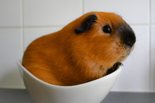 Close-up Of Guinea Pig In Bowl