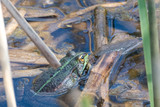 Fototapeta Londyn - Green frog in the pool