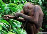 Fototapeta Zwierzęta - Orangutan wybiera