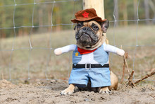 Small French Bulldog Dog Wearing A Carnival Or Halloween Cowboy Full Body Costume With Fake Arms And Pants