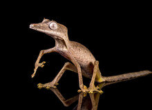 Close-up Of Gecko Against Black Background
