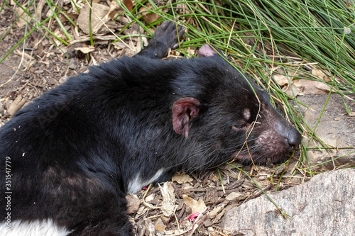 Photo The Tasmanian devil, Sarcophilus harrisii, is an endangered species afflicted by