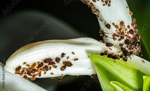 Photo Aphids are a parasitic insect that sucks juice from flowers