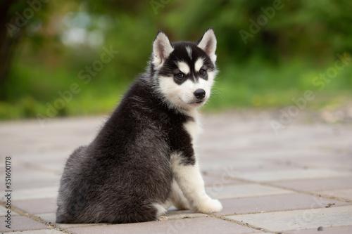 Fotografiet puppy look back siberian husky dog outdoor in summer