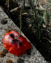 Red Poppy Flower On The Side Of The Road
