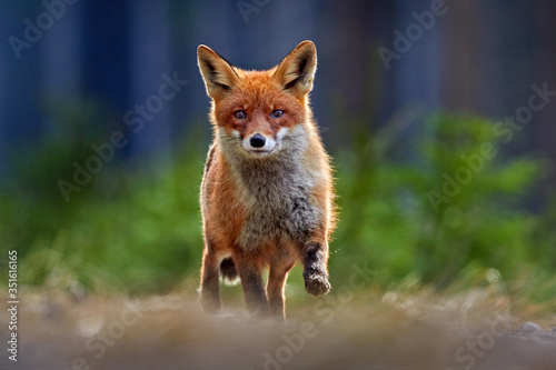 Obraz Red Fox, Vulpes vulpes, beautiful animal on grassy meadow, in the nature habitat, evening sun with nice light, Germany. - fototapety do salonu