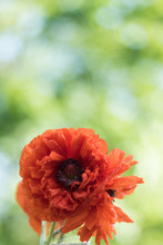Red Poppy Flower Closeup In Soft Morning Light Portrait Copy Space
