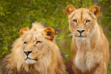 Pair Of African Lions, Panther...