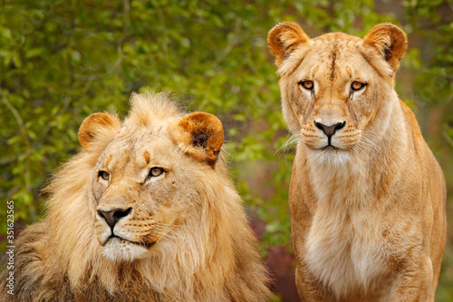 Obraz Pair of African lions, Panthera leo, detail of big animals with evening sun, Chobe National Park, Botswana, Africa. Cats in nature habitat. Greeting of male and female. Portraits of big cats. - fototapety do salonu