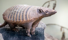 Cute Six Banded Armadillo  In The Zoo