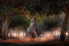 Boswell Elephant At Mana Pools...
