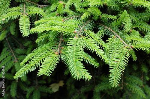 Photo Picea abies L. (Nidiformis), outdoor plants 2020