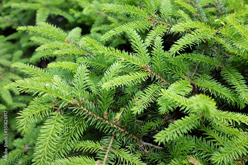 Picea abies L. (Nidiformis), outdoor plants 2020 Canvas Print
