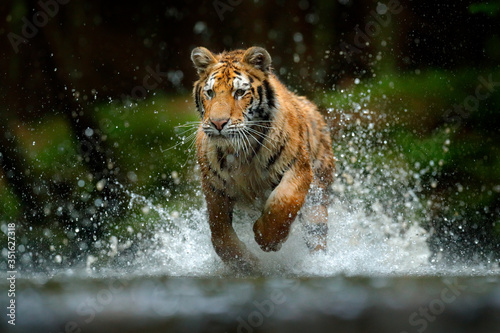 Tablou Canvas Amur tiger playing in the water, Siberia
