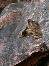 Wildlife Photo Of A Rock Hyrax (Procavia Capensis) On A Rocky Outcrop, Namibia