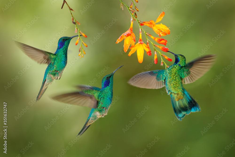 Fototapeta Hummingbird flight. Green Violet-ear, flock group shine birds. Colibri thalassinus, flying in the nature tropical wood habitat, red flower, Tapanti NP, Costa Rica. Wildlife scene from jungle.
