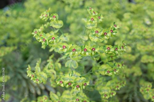 Photo Euphorbia martinii (Ascot Rainbow), outdoor plants 2020