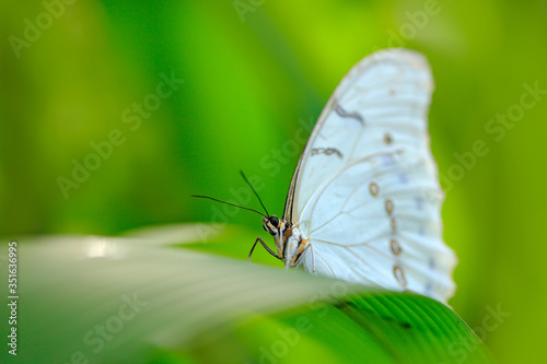 White butterfly on green leaves in tropic jungle Fototapet