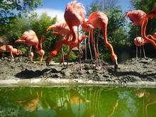 Flock Of Flamingoes At Lakeside