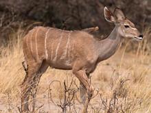 Closeup Of A Greater Kudu (Tragelaphus Strepsiceros) Walking Through Dry Yellow Grass, Namibia