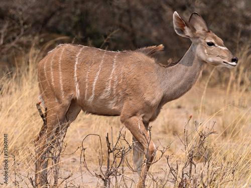 Fotografija Closeup of a Greater kudu (Tragelaphus strepsiceros) walking through dry yellow