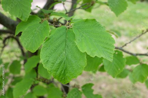 Fotografía Hamamelis mollis OLIV. (Hamamelidaceae), outdoor plants 2020