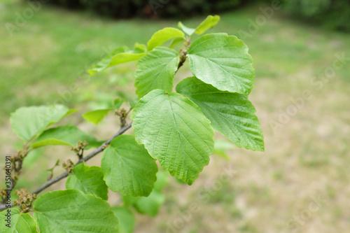 Fotomural Hamamelis mollis OLIV. (Hamamelidaceae), outdoor plants 2020