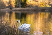 Swan Swimming In Lake During Autumn