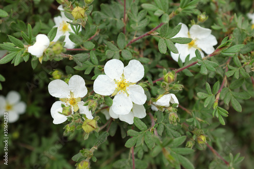 Potentilla fruticosa L. (Abbotswood), outdoor plants 2020 Billede på lærred