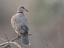 Closeup Of A Ring-necked Dove (Streptopelia Capicola) In An Atmospheric Light, Namibia