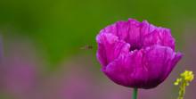 Dwarf Bread Seed Poppy With A ...