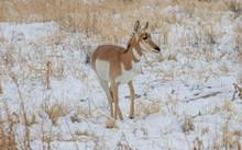 Pronghorn Antelope In Winter In Utah