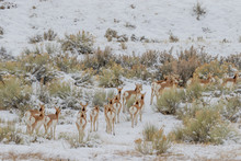Pronghorn Antelope In Winter In Utah