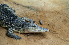 Head And Front Legs Of Crocodile In An Animal Reserve In Spain.