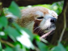 Close-up Of Red Panda Resting ...