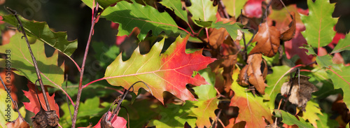 Photo Oak tree with multicolor leaves in autumn forest