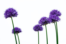 Blooming Purple Allium Giganteum With A White Background