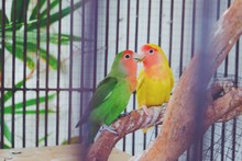 Lovebirds Perching On Wood In ...