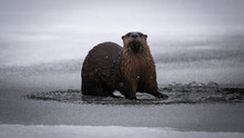 Mountain River Otter