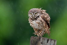 A Burrowing Owl In The Rain In...