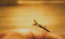 Cropped Image Of Hand Holding Praying Mantis